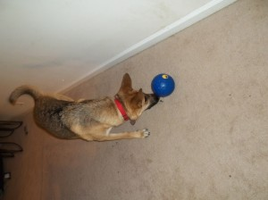 Dog driving a treat ball